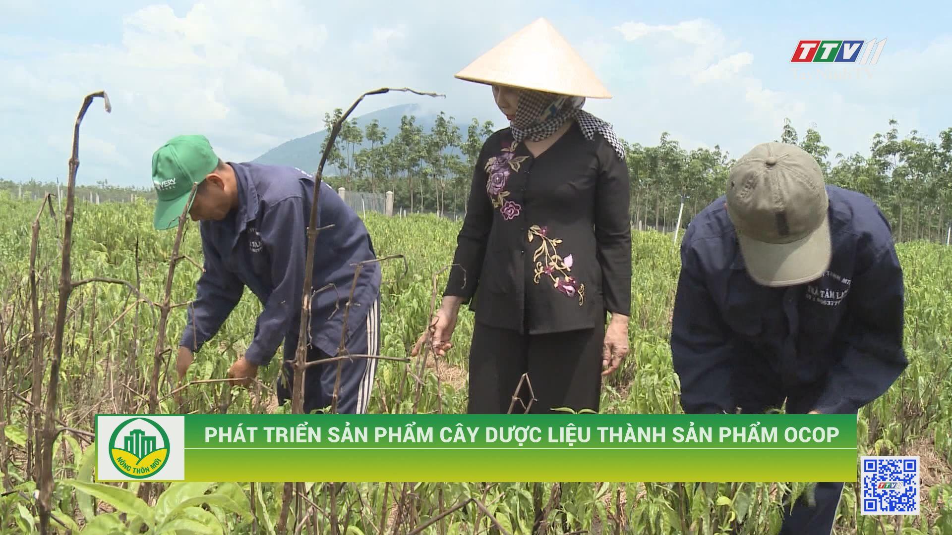 Phát triển sản phẩm cây dược liệu thành sản phẩm OCOP | TÂY NINH XÂY DỰNG NÔNG THÔN MỚI | TayNinhTV
