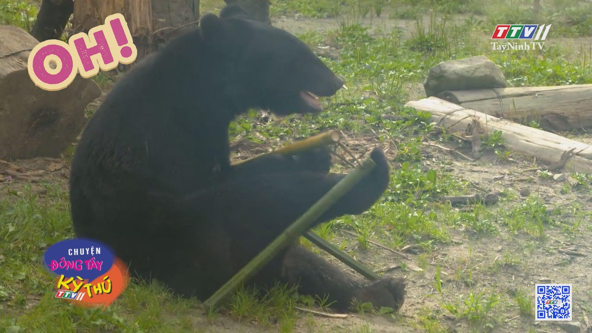 Chú gấu khéo léo sử dụng côn nhị khúc | CHUYỆN ĐÔNG TÂY KỲ THÚ | TayNinhTVE