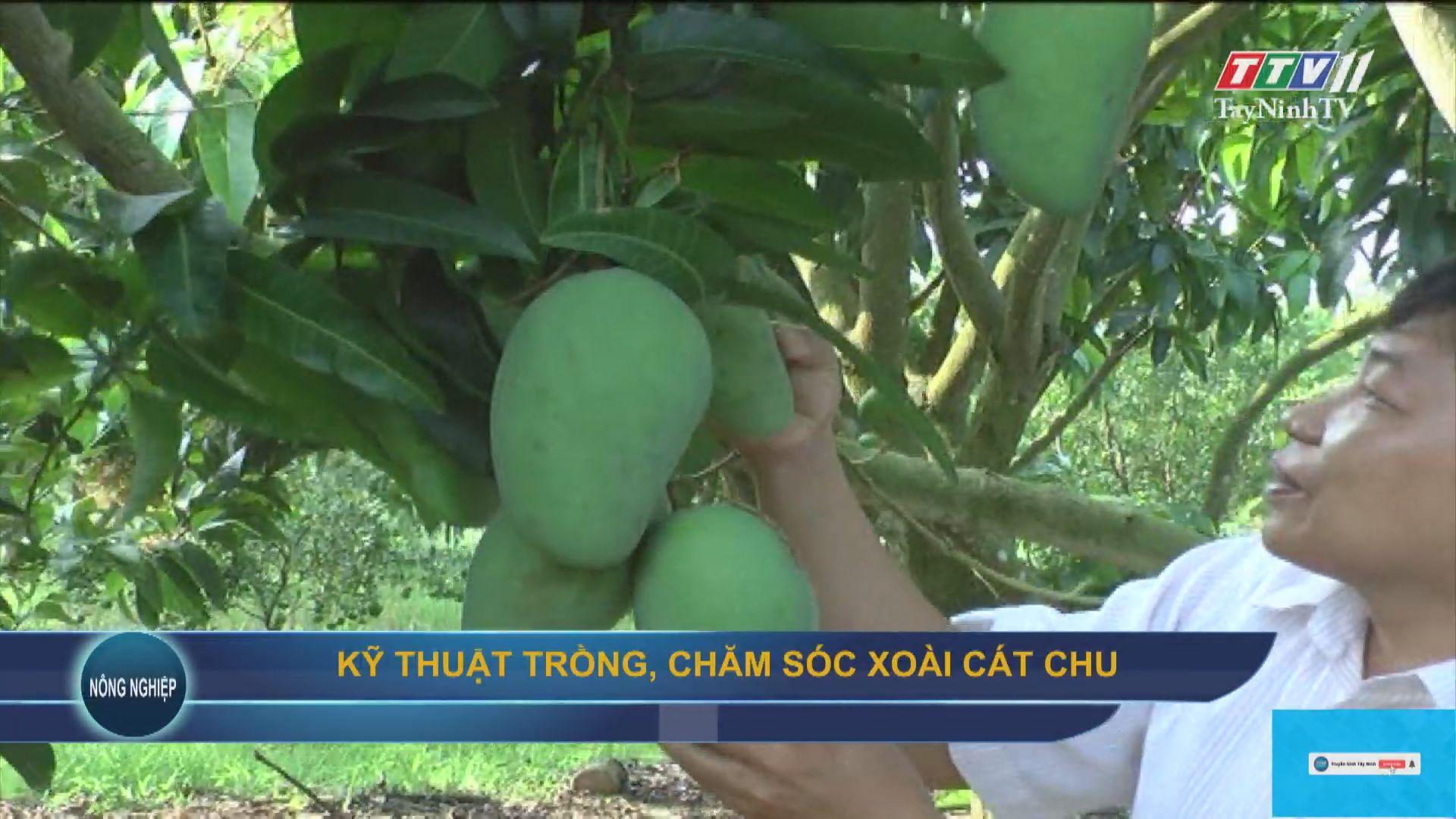 Kỹ thuật trồng, chăm sóc xoài cát chu   NÔNG NGHIỆP TÂY NINH   TayNinhTV