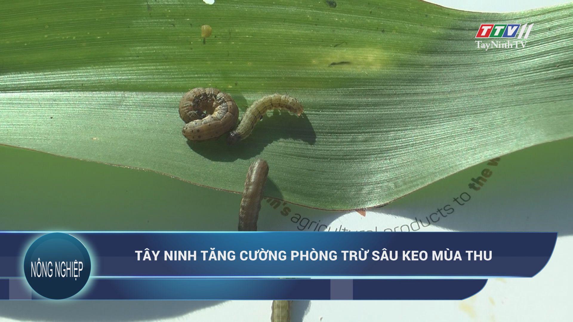 Tây Ninh tăng cường phòng trừ sâu keo mùa thu | NÔNG NGHIỆP TÂY NINH | TayNinhTV
