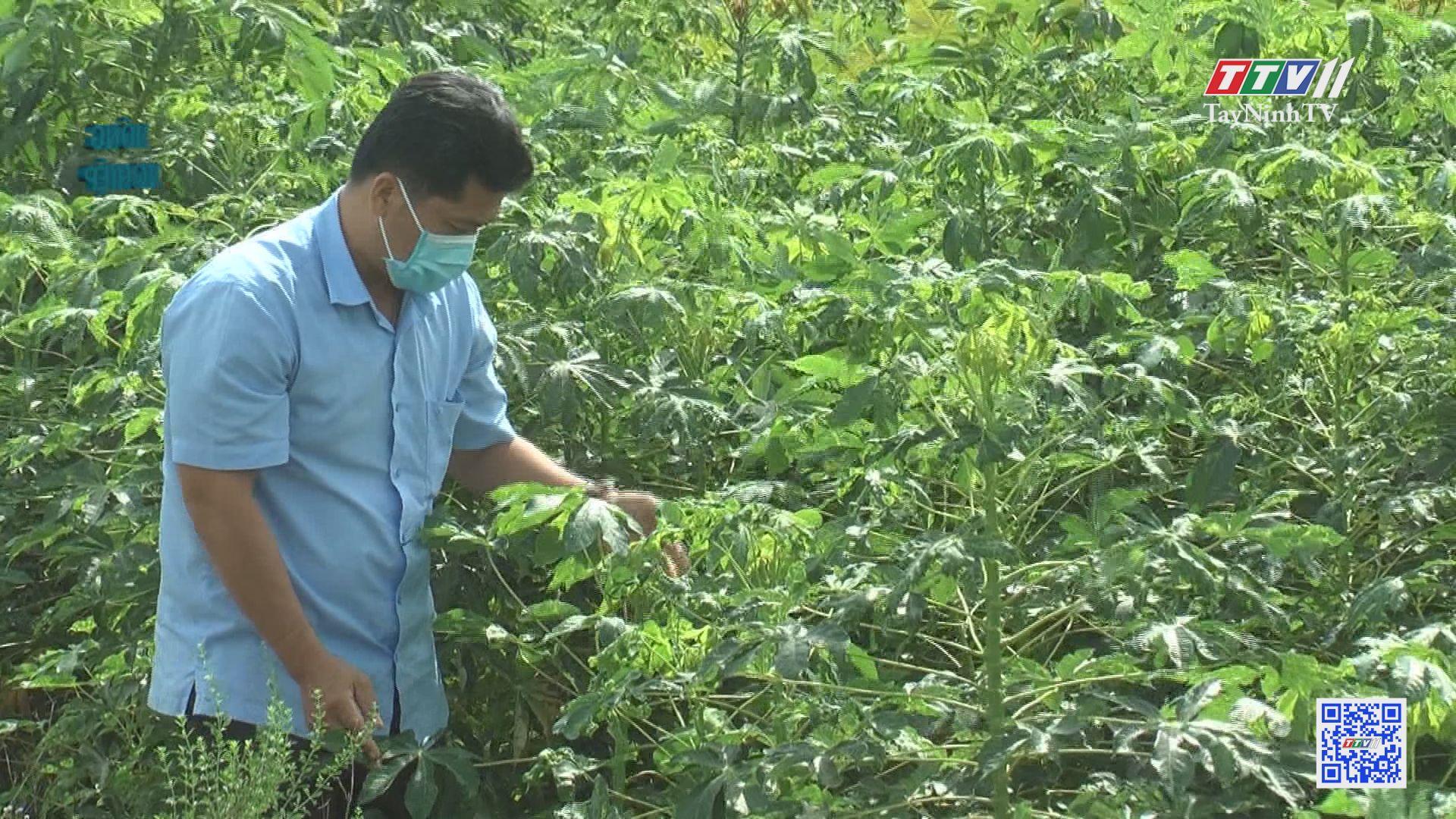 Thâm canh cây mì trên đất Phước Minh | NÔNG NGHIỆP TÂY NINH | TayNinhTV
