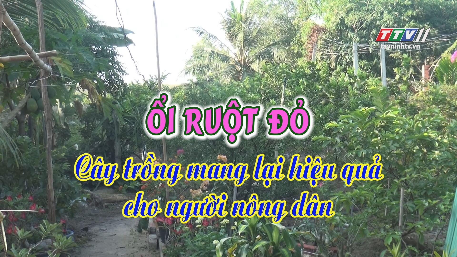Ổi ruột đỏ - Cây trồng mang lại hiệu quả cho người nông dân | THÔNG TIN TỪ CƠ SỞ | TayNinhTV