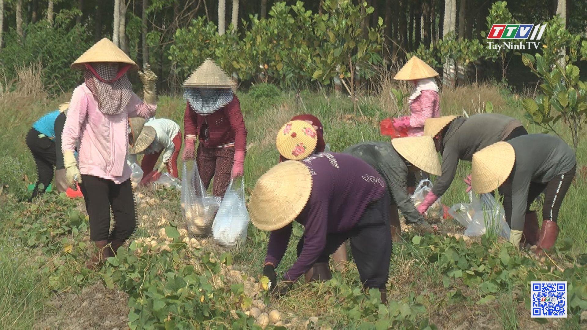 Trồng củ đậu xen trong vườn mít | NÔNG NGHIỆP TÂY NINH | TayNinhTV