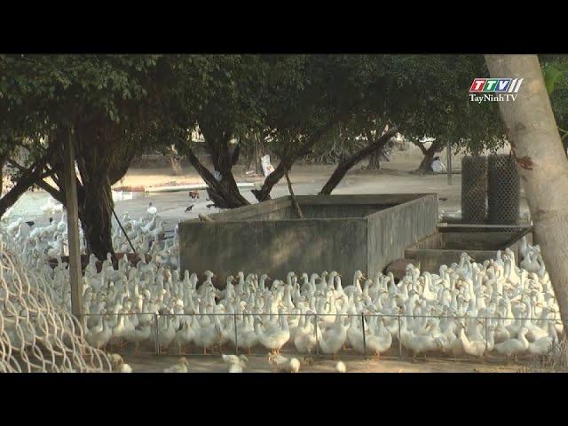 Người cựu chiến binh phát triển chăn nuôi | NÔNG NGHIỆP TÂY NINH | TayNinhTV