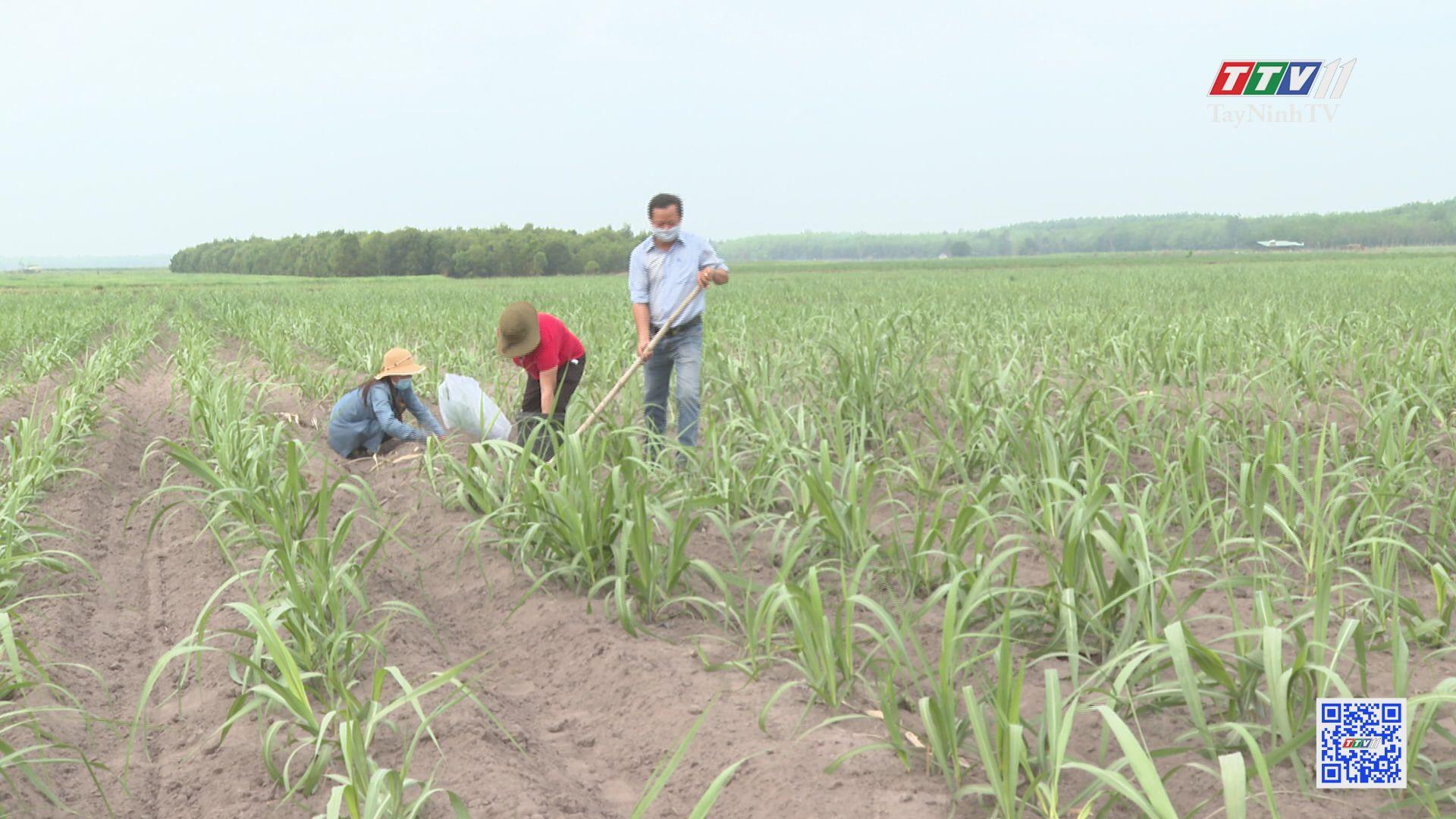 TTCS đồng hành cùng nông dân nâng tầm cây mía | CÂY MÍA VIỆT | TayNinhTV