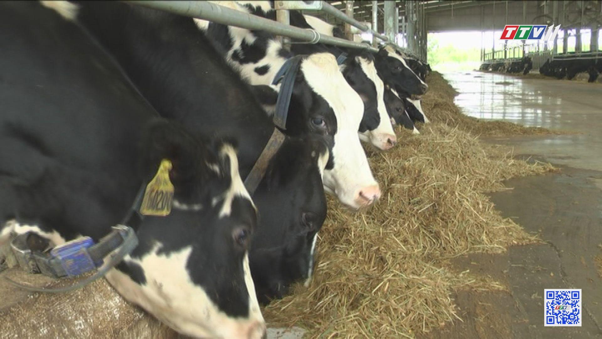 Chăn nuôi bò sữa hướng tới chuỗi liên kết giá trị | NÔNG NGHIỆP TÂY NINH | TayNinhTV