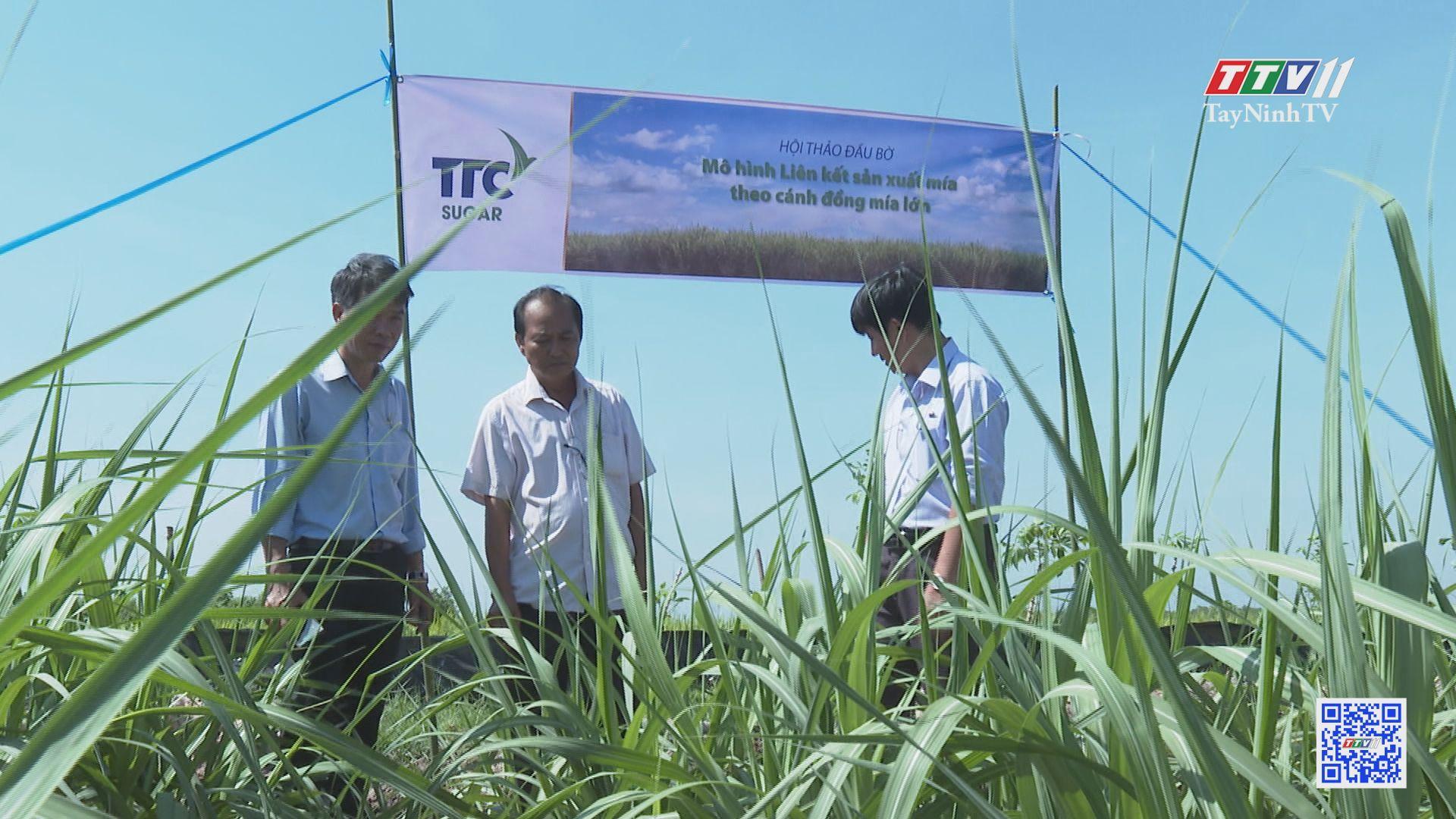 TTCS để cánh đồng mía lớn thực sự lớn | CÂY MÍA VIỆT | TayNinhTV