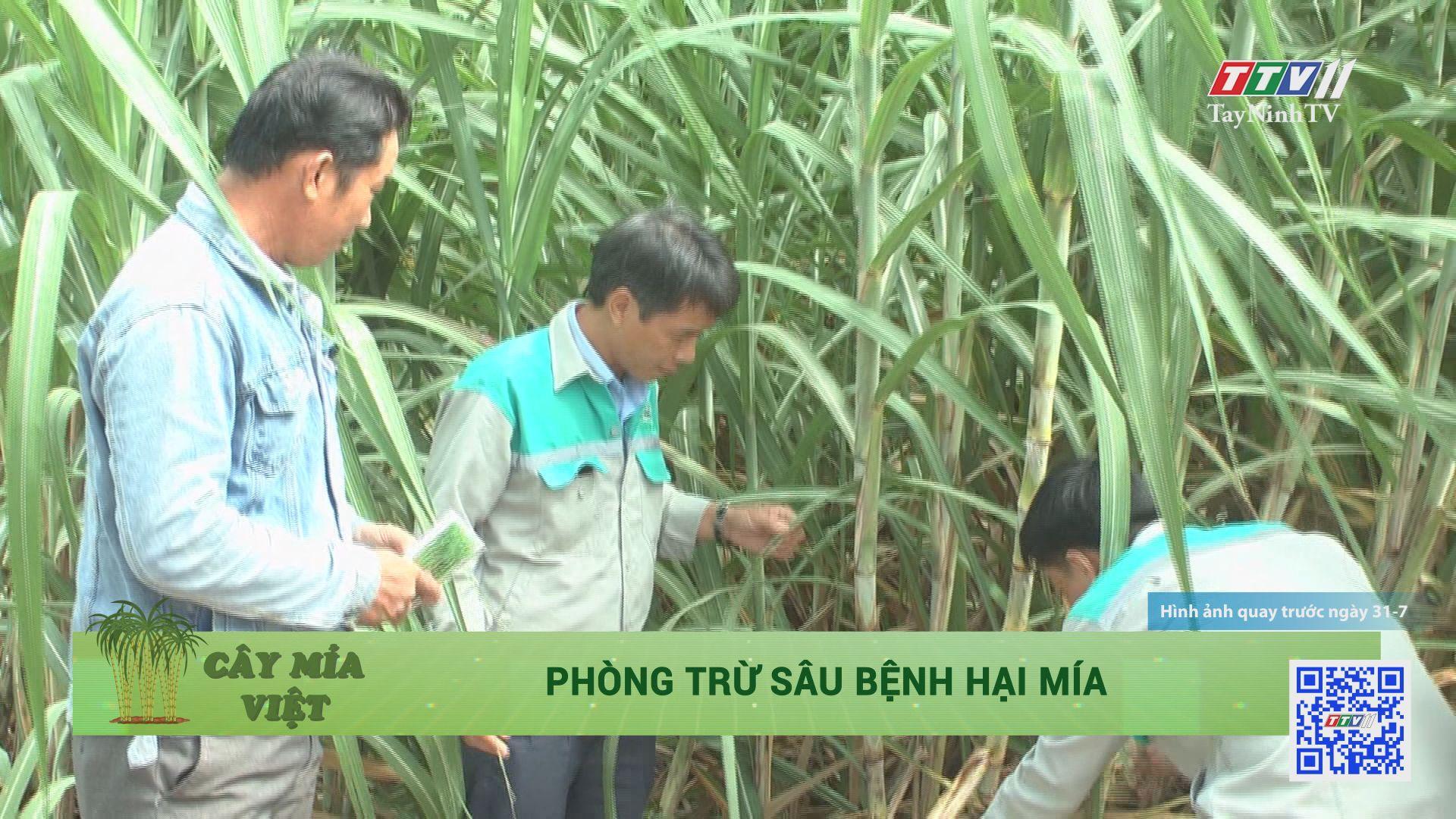 Phòng trừ sâu bệnh hại mía | CÂY MÍA VIỆT | TayNinhTV