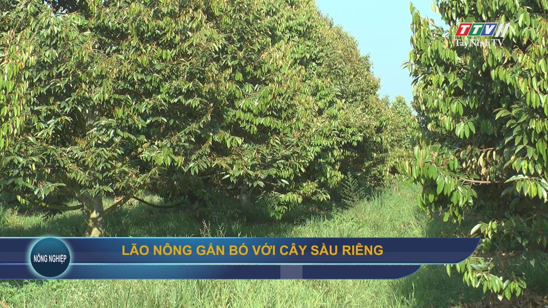 Lão nông gắn bó với cây sầu riêng   NÔNG NGHIỆP TÂY NINH   TayNinhTV
