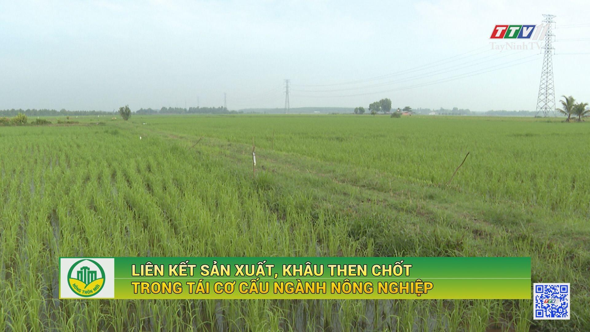 Liên kết sản xuất, khâu then chốt trong tái cơ cấu ngành nông nghiệp | NÔNG THÔN MỚI | TayNinhTV