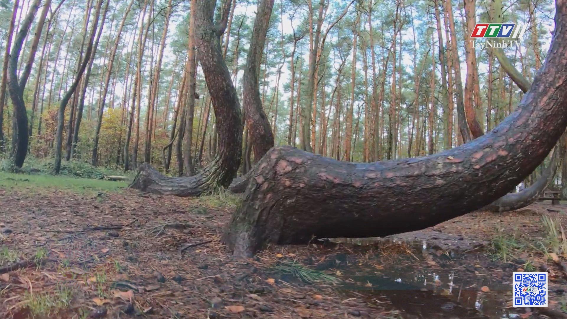 Cánh rừng Tre thần thoại ở Nhật Bản | CHUYỆN ĐÔNG TÂY KỲ THÚ | TayNinhTV