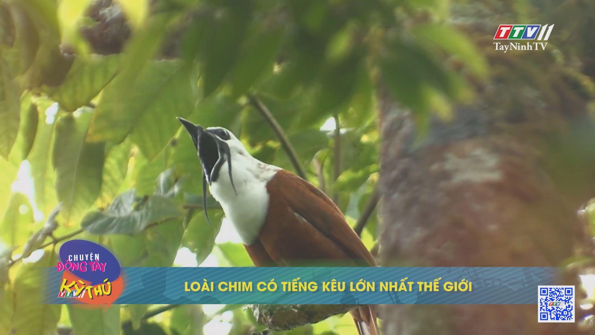Loài chim có tiếng kêu lớn nhất thế giới | CHUYỆN ĐỘNG TÂY KỲ THÚ | TayNinhTVE