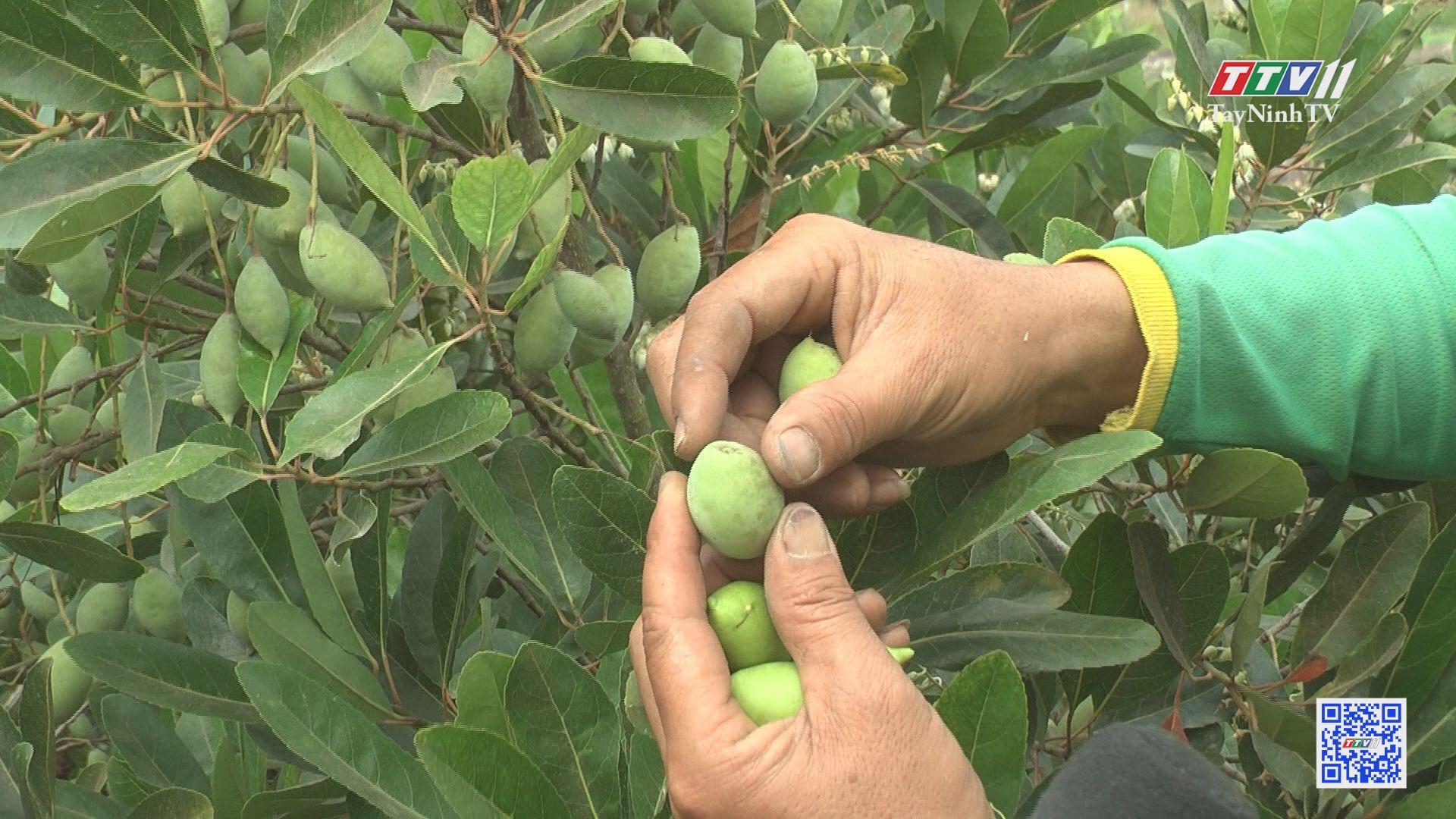 Hiệu quả mô hình trồng cà na Thái | NÔNG NGHIỆP TÂY NINH | TayNinhTV