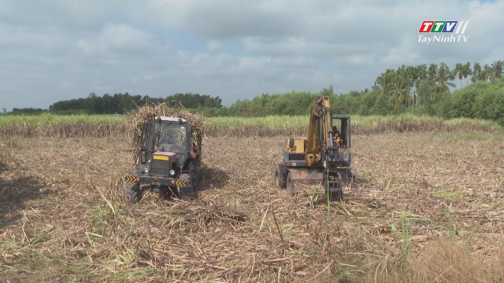 Thu hoạch mía chậm, người trồng thiệt đơn, thiệt kép | TIẾNG NÓI CỬ TRI | TayNinhTV