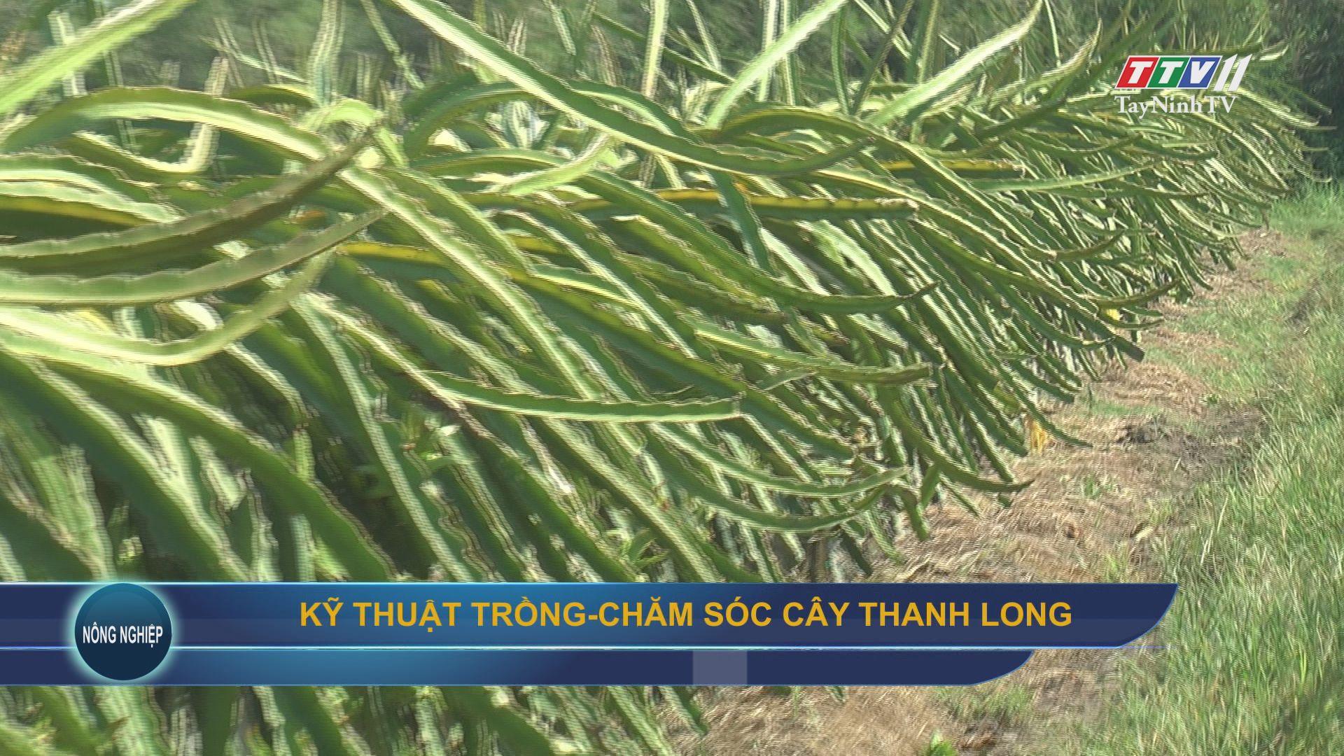 Kỹ thuật trồng-Chăm sóc cây thanh long   NÔNG NGHIỆP TÂY NINH   TayNinhTV