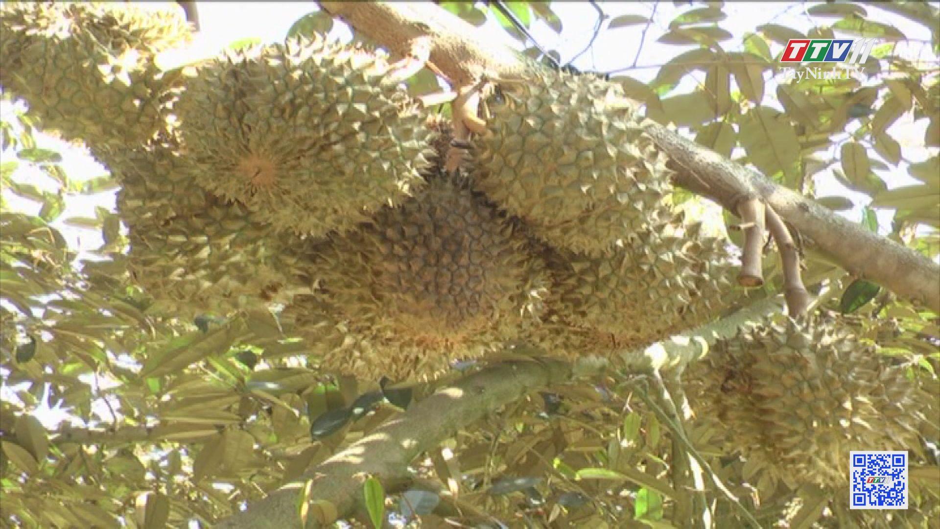 Trồng-chăm sóc cây sầu riêng | NÔNG NGHIỆP TÂY NINH | TayNinhTV