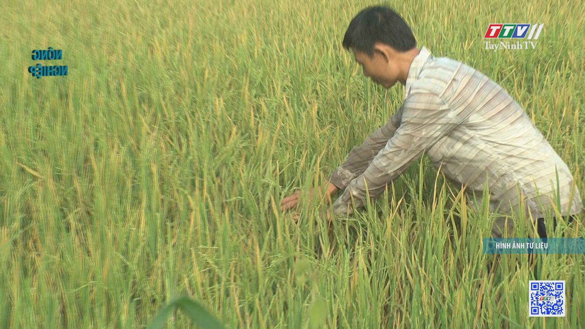 Tăng cường phòng trừ sâu bệnh hại lúa Hè Thu | NÔNG NGHIỆP TÂY NINH | TayNinhTV