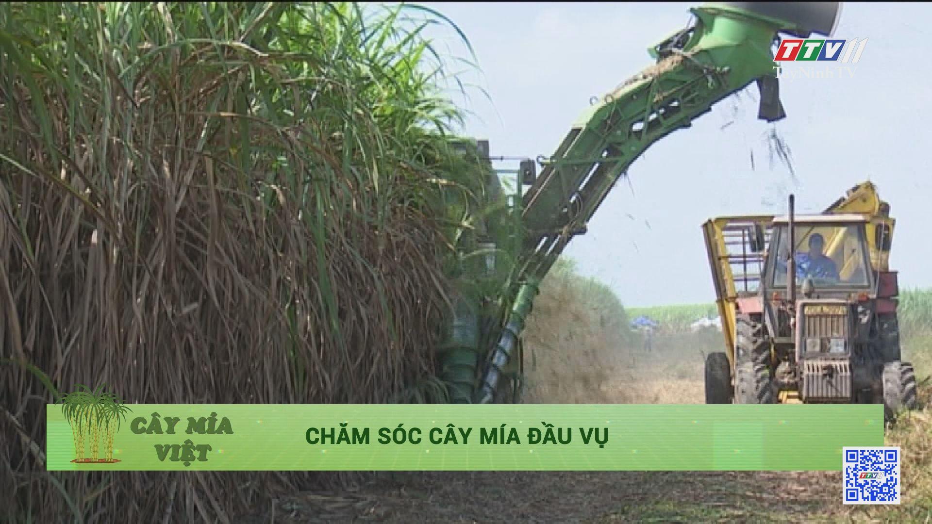 Chăm sóc cây mía đầu vụ | Cây mía Việt | TâyNinhTV
