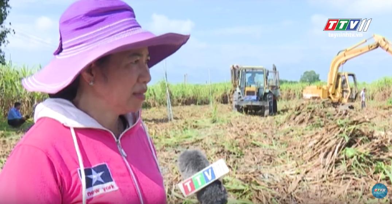 Cơ giới trồng mía đầu vụ tiết kiệm và hiệu quả | Cây Mía Tây Ninh | Tây Ninh TV