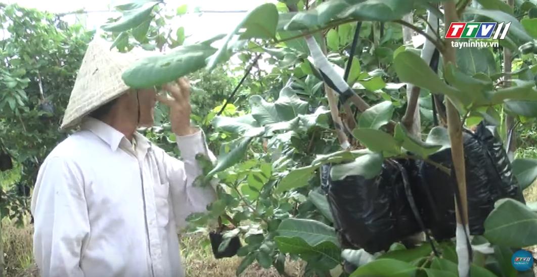 Kỹ thuật trồng chăm sóc CÂY NHÃN | Nông Nghiệp Tây Ninh | TayNinhTV