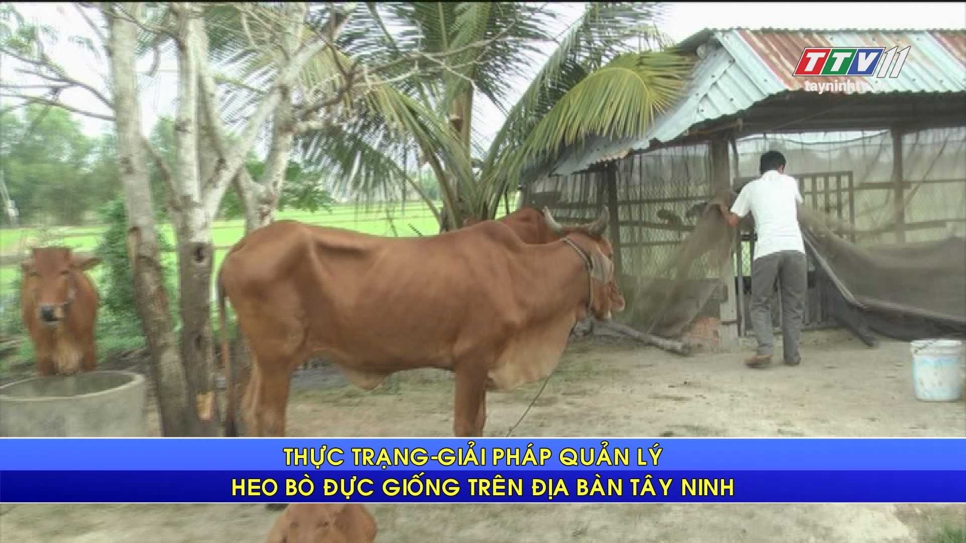 Thực trạng giải pháp quản lý heo bò đực giống trên địa bàn Tây Ninh | NÔNG NGHIỆP TÂY NINH | TayNinhTV